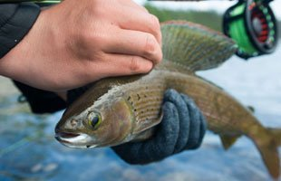 arctic grayling