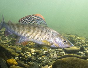 arctic-grayling-3