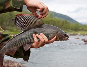 arctic-grayling-4
