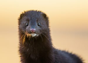 Photo of a mink, arctic animals
