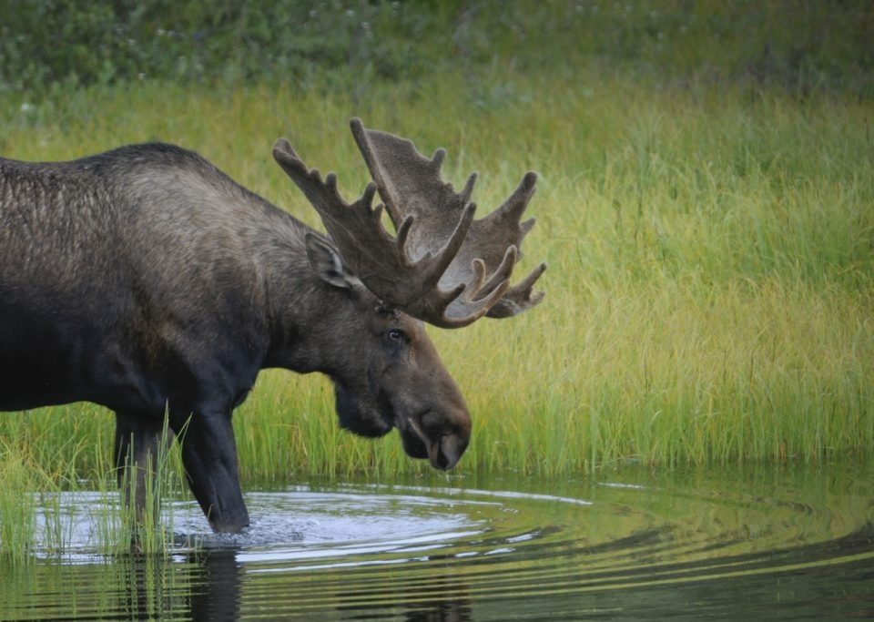 Photo of a moose, arctic animals